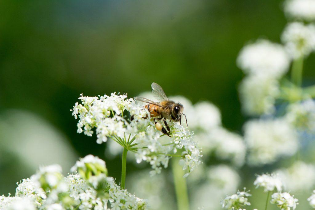 abeille butinant sur une fleurs avec pollen aux pattes